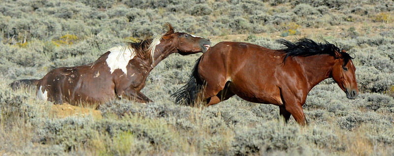 Taking a Bite - Wild Horse Tour, Green River, Wyoming - Doug Beezley - August 2013