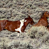 Poor Curly - Wild Horse Tour, Green River, Wyoming - Jack Denger - August 2013