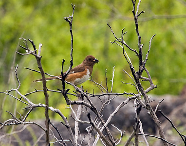 Rufus-sided Towhee (female)
