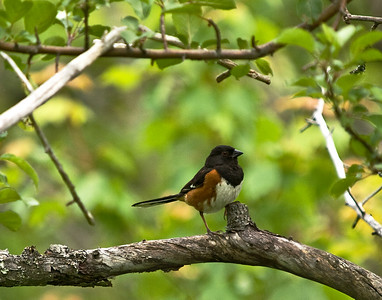 Rufus-sided Towhee (male)