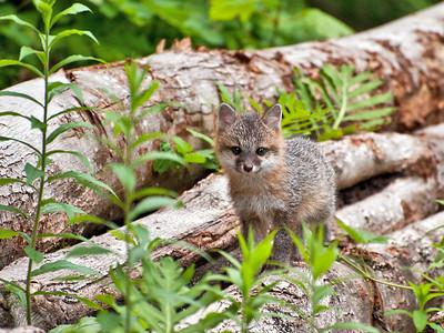Gray Fox Kit  (Urocyon cinereoargenteus)