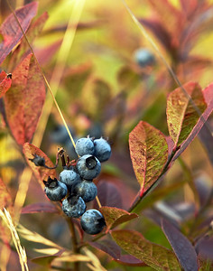 Hubbard Hill Blueberries