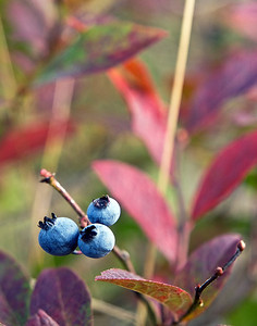 Late Berries
