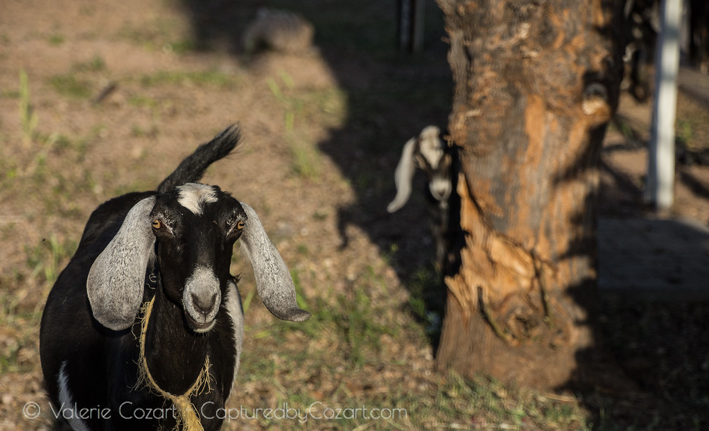 Goat and Kid-1