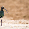 Lonesome Ibis-1