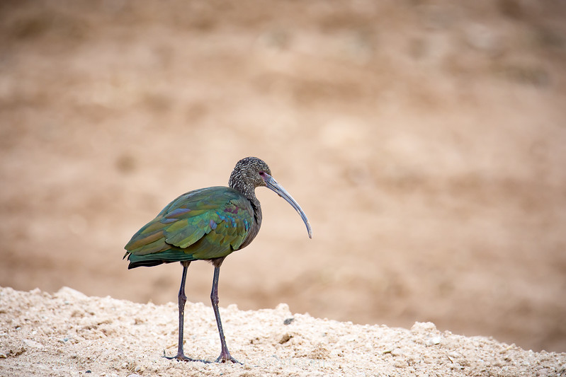 White Faced Ibis-1