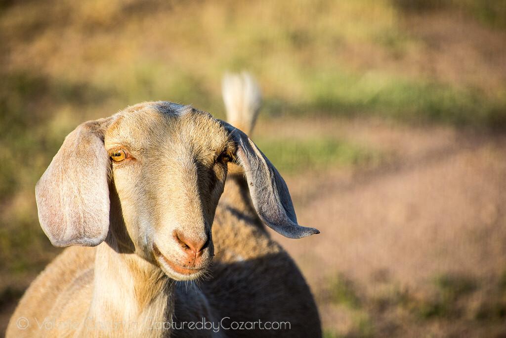 Nanny Goat-1