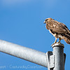 Hawk on a Lamp Post-1
