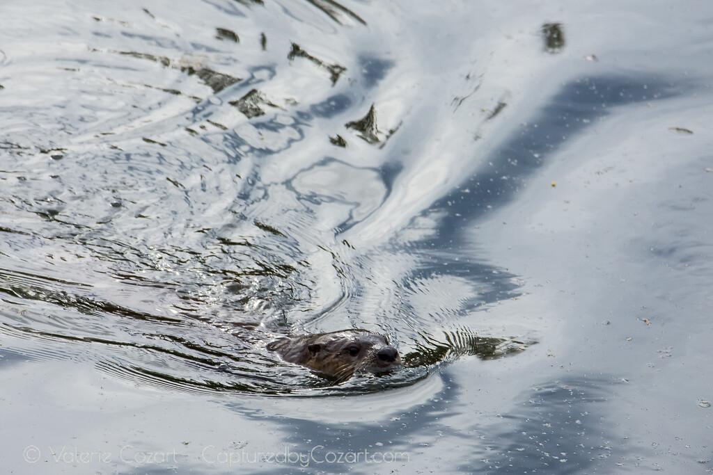Otter Adventures Take 2-7