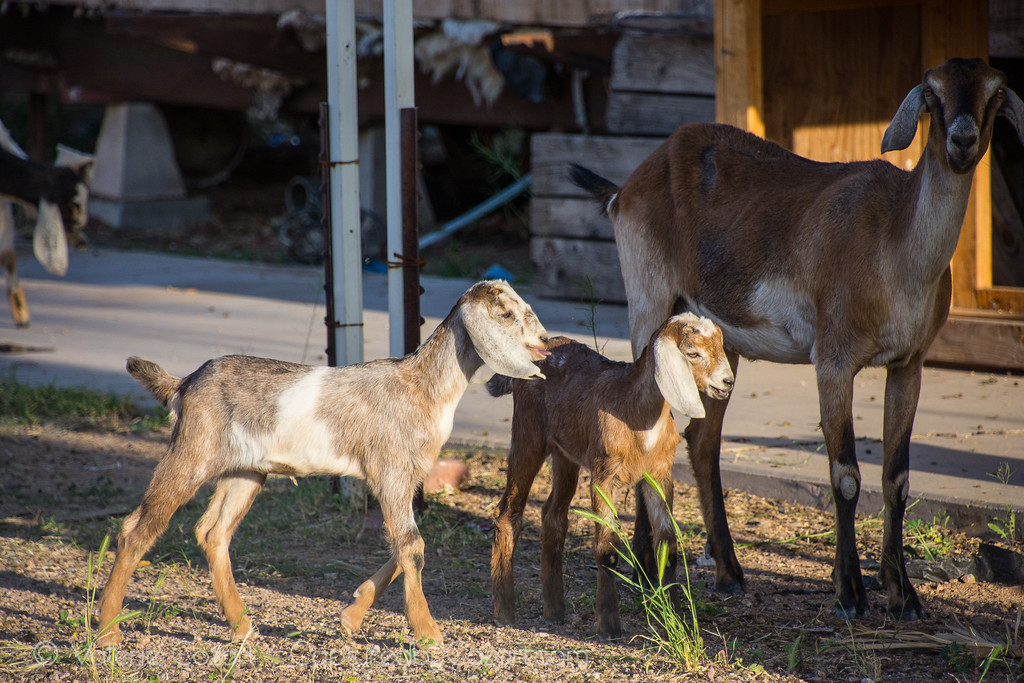 Baby Goats!-1