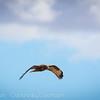 Hawk Hunting-1
