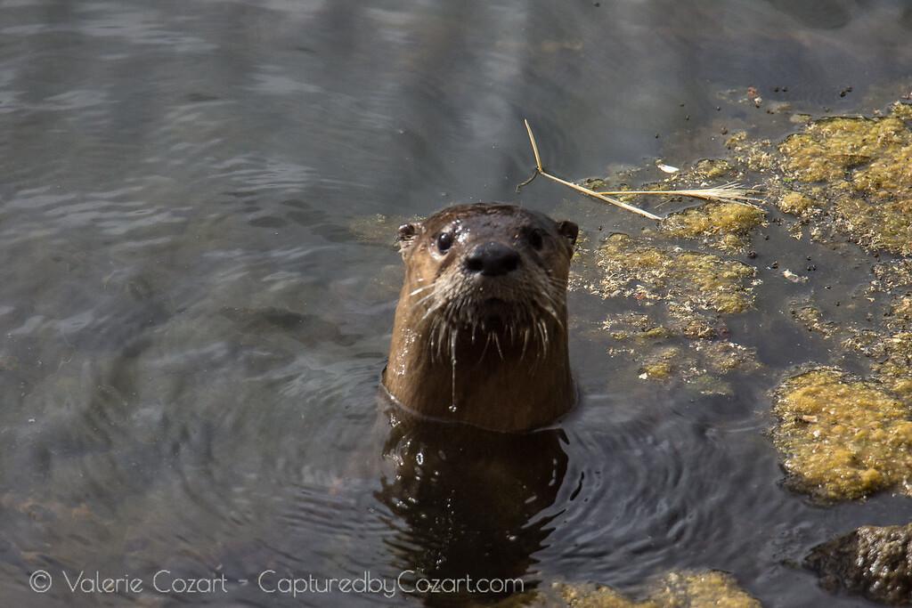 Otter Adventures Take 2-13