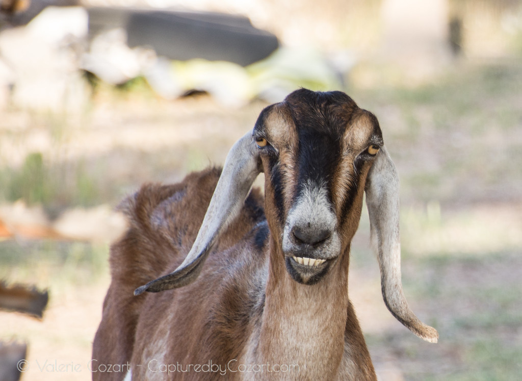 Goat Smile-1