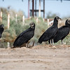 Clutch of Black Vultures-1