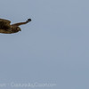 NorthernHarrier-1