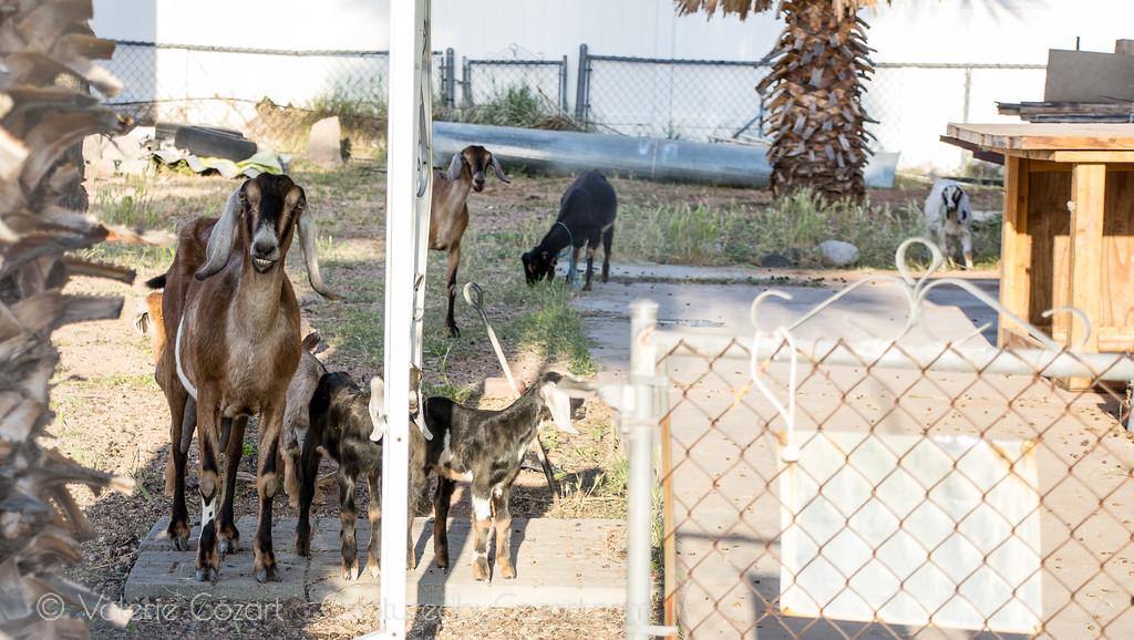 Many Goats-1
