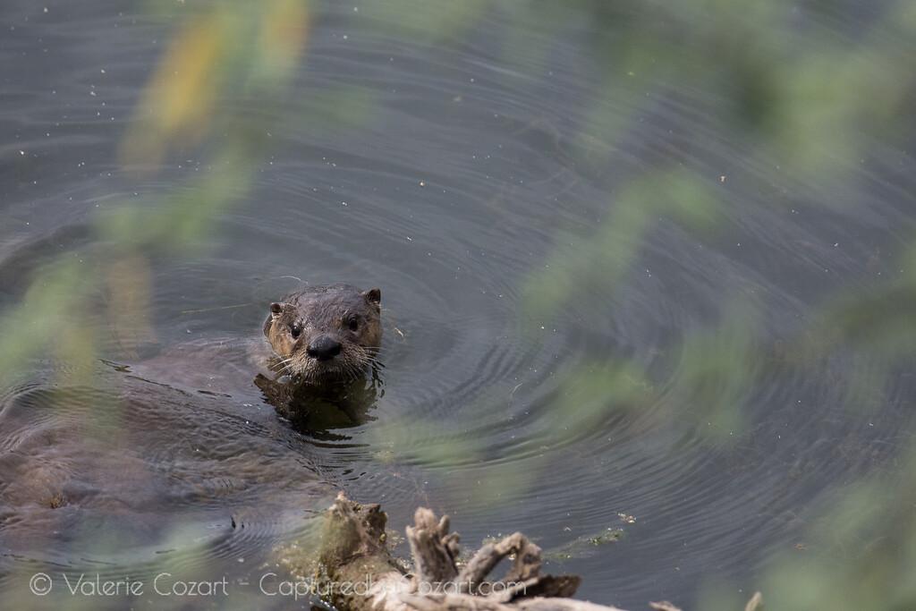 Otter Adventures Take 2-1