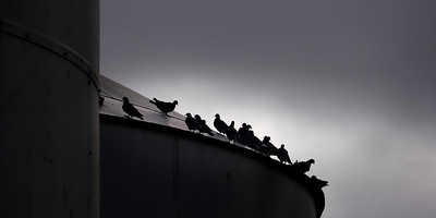 Pigeons perching atop the silo at Remlaw.