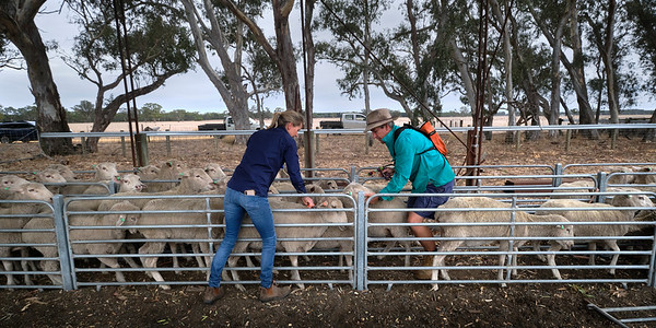 Looking after the sheep, Edenhope.