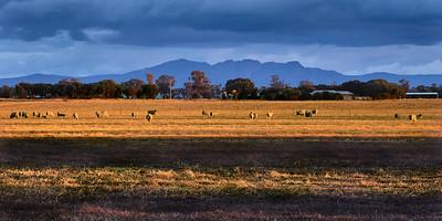 Sheep graze in the setting sun .