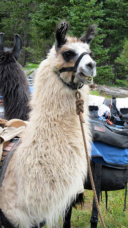 This is the skittish one! His teeth are particularly gnarled! We did decide after several llama encounters that one could come in quite handy to haul in the beer that we shouldered on this trip. The 4th annual will no doubt take this into consideration...just need to decide which one of us will be the llama handler. Thinking that Sata would be qualified!
