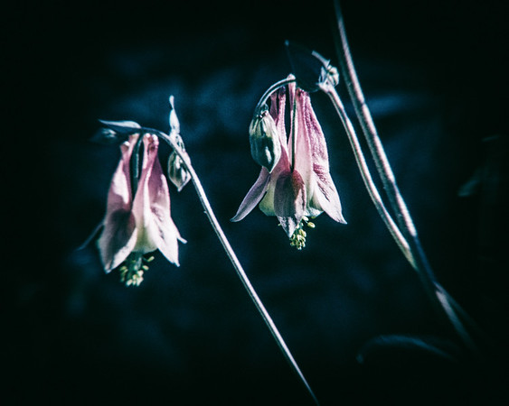 Columbine, Witch's Garden, May 5, 2019