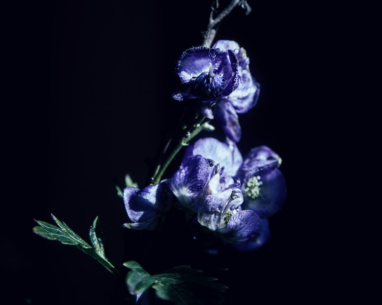 Monkshood, October 20