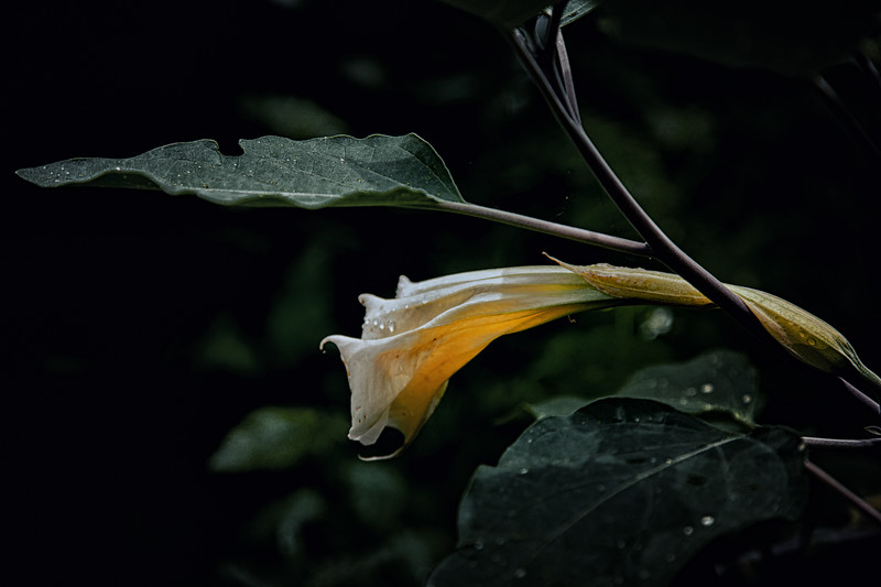 Datura Bloom, June 21