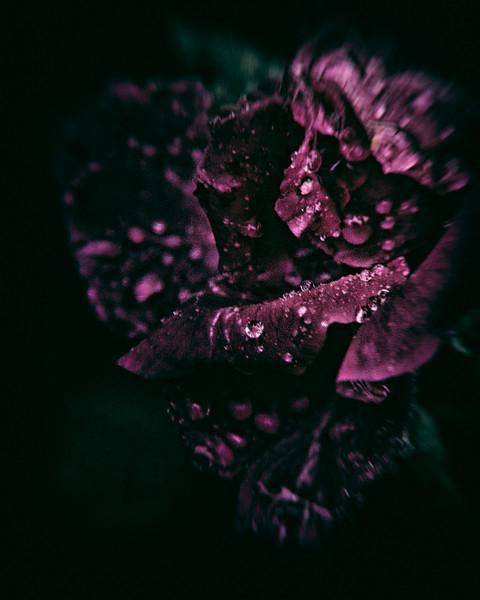 Rose, June 9