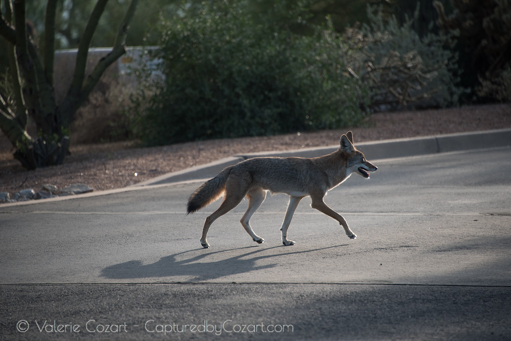 Wild Coyotes