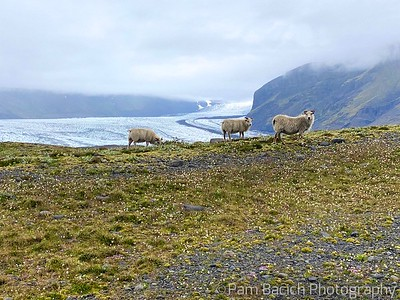 Sheep by the Ice