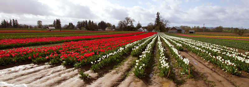 4-Rows and rows of tulips-IMG_0048