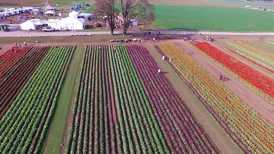 1-Flying over the tulip farm