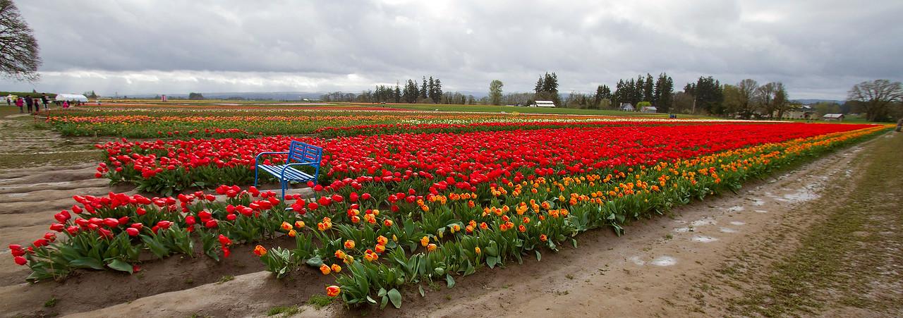 1-ground view of tulip farm-IMG_0016