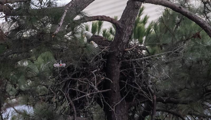 The Woodlands TX Bald Eagles