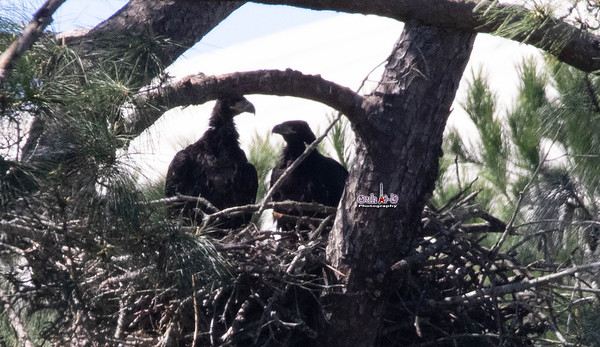 The Woodlands TX Bald Eagles