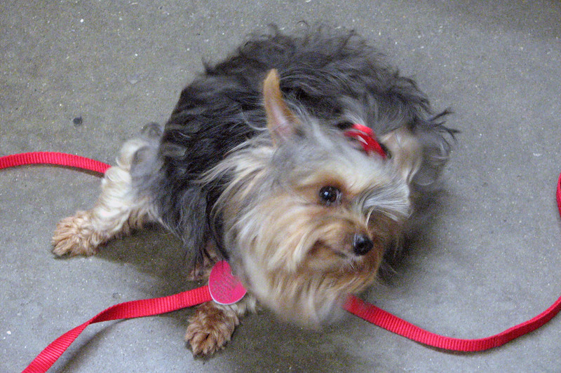 Kiwi is a two-year old Yorkie.