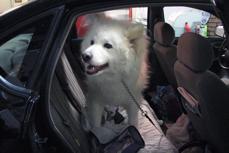 A Samoyed is a herding dog also known as a gentle giant.