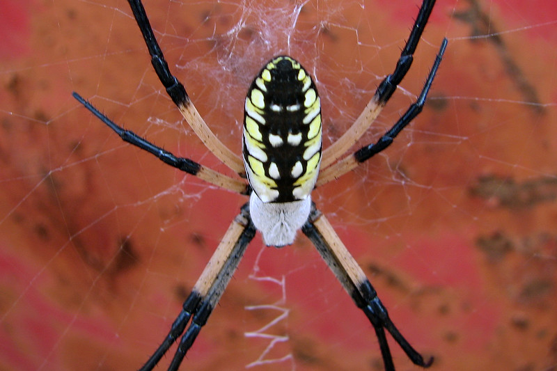 I've also heard it called a Garden Spider.