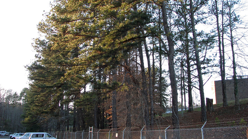 The pine trees on our property had become diseased and were starting to drop branches.