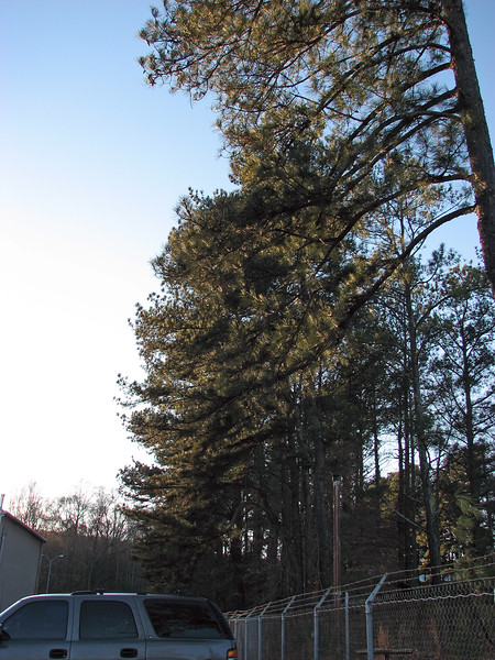 Fleet Manager Bill decided to take preventative action and have all of the pine trees removed.