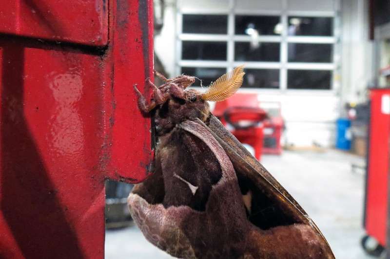 My guess is that he is some kind of atlas moth or similar.
