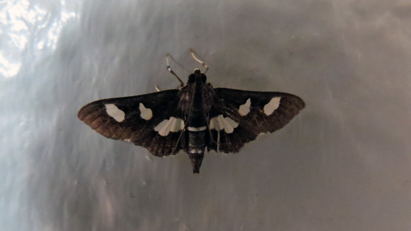 It seems like I've been seeing a lot of large moths in the shop lately.