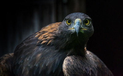 Golden Eagle Transfixed