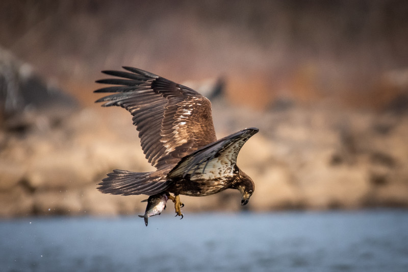 Young Bald Eagle Hunting