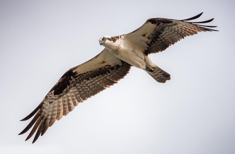 Osprey in Flight (aka Fish Eagle)