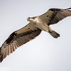 Osprey in Flight (aka Fish Eagle)