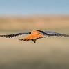 American Kestrel (aka Sprrow Hawk)