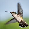 Female Ruby-Throated Hummingbird in Flight