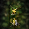 Two Female Goldfinches Fighting